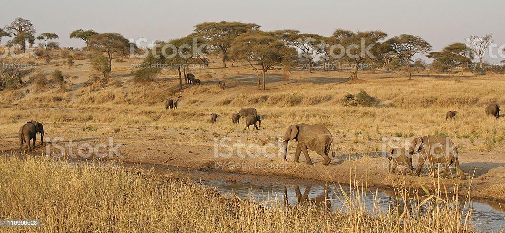 Elephants dotting the landscape royalty-free stock photo