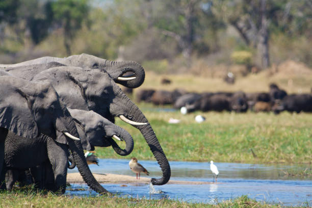 elephants driniking - wildlife conservation stock photos and pictures