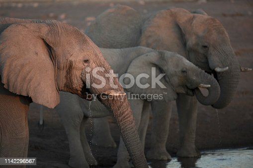 Elephants drinking in the last fading light of day.