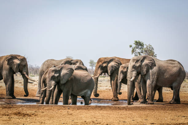 Elephants drinking water from the pond Ngorongoro Crater, Africa, Tanzania, Ngorongoro Conservation Area, Elephant ngorongoro conservation area stock pictures, royalty-free photos & images