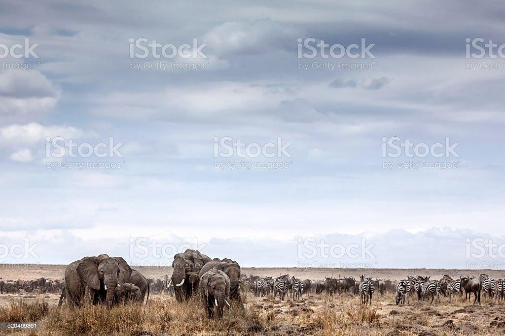Elephants eat under a brooding sky stock photo