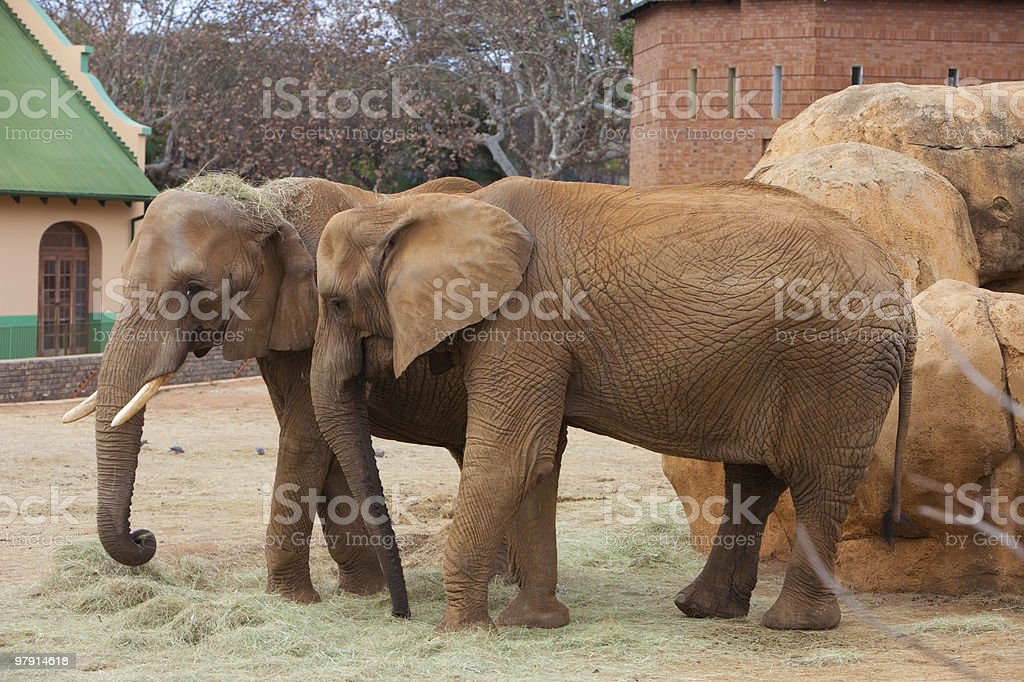 Elephants eating royalty-free stock photo