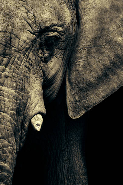elephant's face - animals in captivity stock pictures, royalty-free photos & images