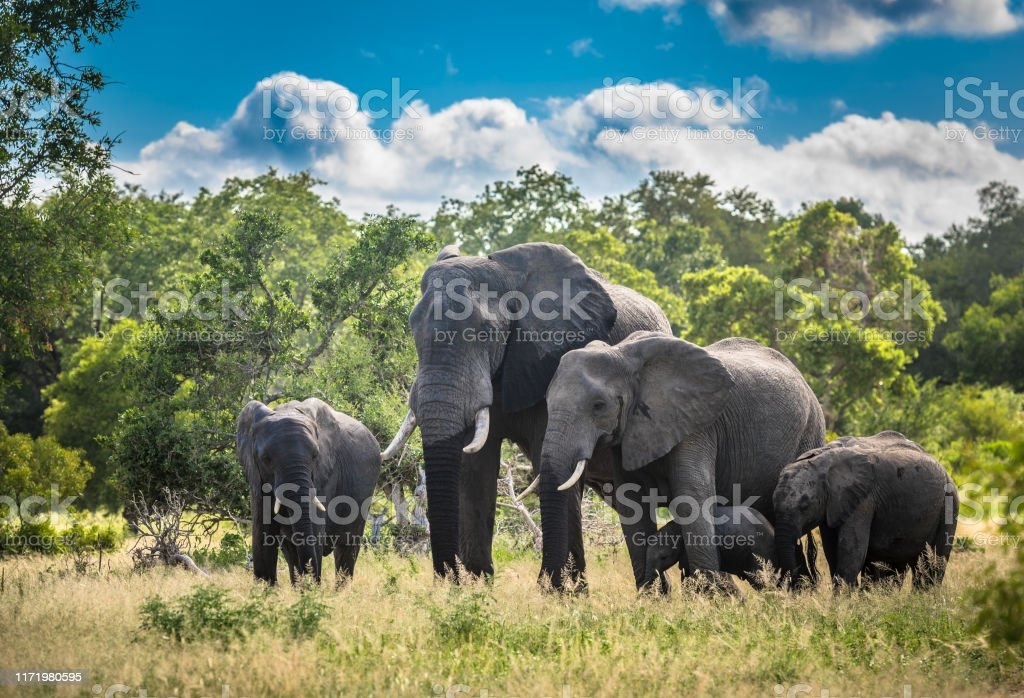 Elephants family in Kruger National Park, South Africa. Elephants family in Kruger National Park, South Africa. Addo Stock Photo