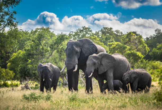 Elephants family in Kruger National Park, South Africa. Elephants family in Kruger National Park, South Africa. kruger national park stock pictures, royalty-free photos & images
