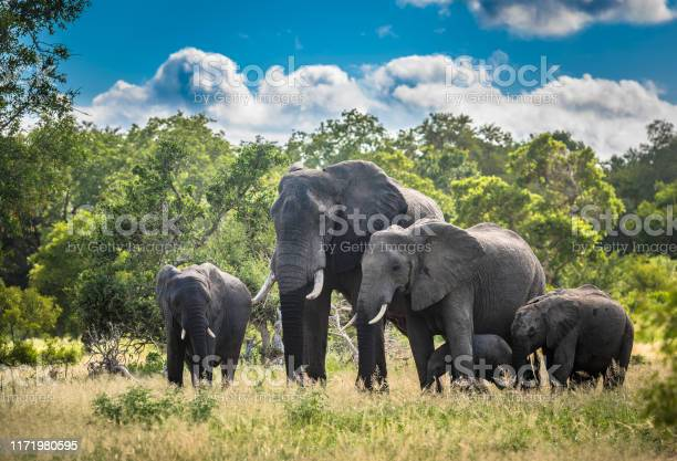 Elephants Family In Kruger National Park South Africa Stock Photo - Download Image Now