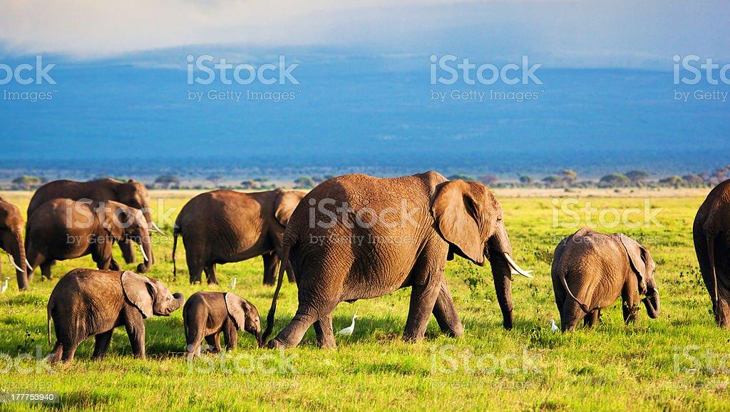 Elephants family on savanna. Safari in Amboseli, Kenya, Africa stock photo