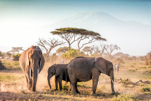 elephants grazing at amboseli with kilimanjaro - safari stock photos and pictures