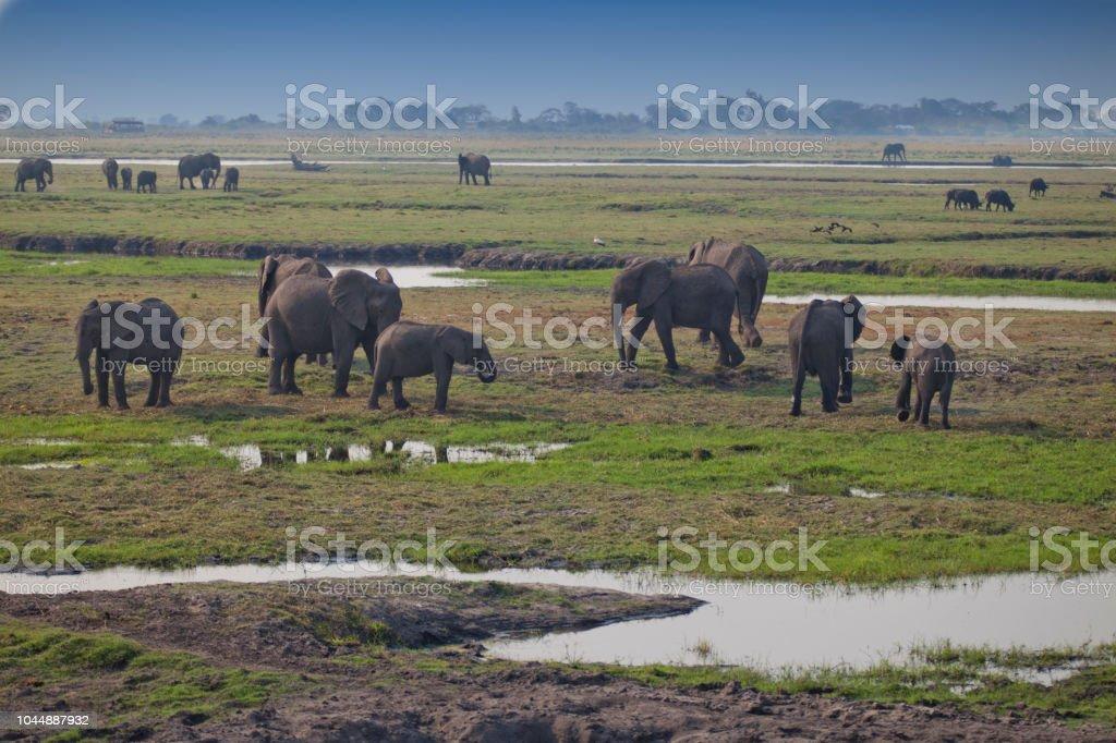 Elephants Grazing - Chobe National Park stock photo