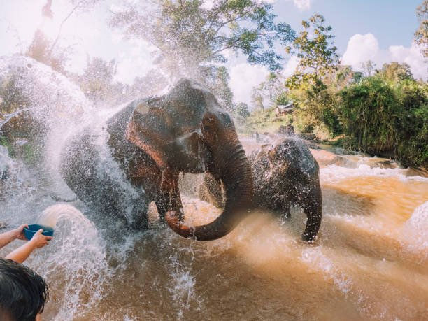 Elephants having a bath in the mud - Chang Mai region Elephants having a bath in the mud - Chang Mai region wildlife reserve stock pictures, royalty-free photos & images
