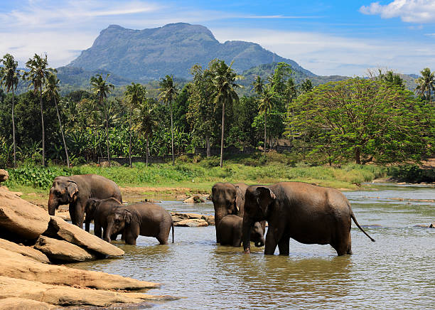 elephants herd in jungle elephants herd swim in lake water in jungle yala stock pictures, royalty-free photos & images