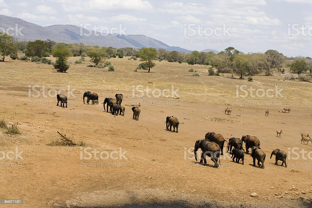 Elephants in Africa royalty-free stock photo