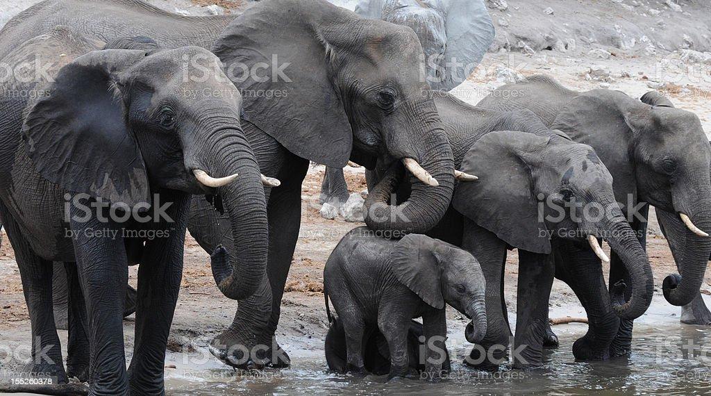 Elephants in Botswana stock photo