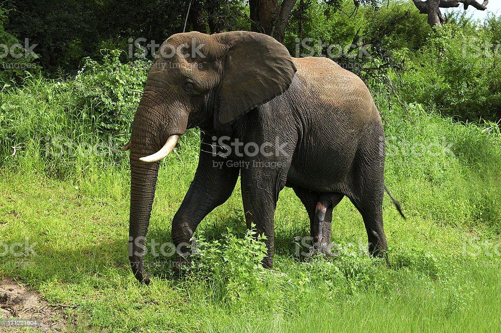 Elephants in Botswana royalty-free stock photo