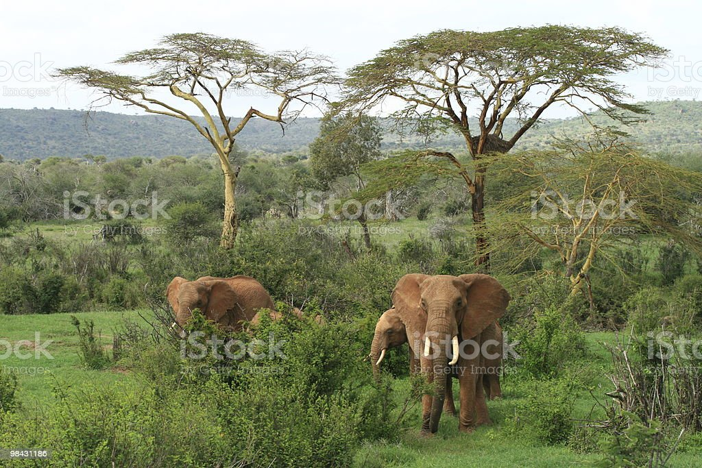 Elephants in East Africa royalty-free stock photo