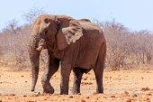 Elephants in Etosha Park Namibia