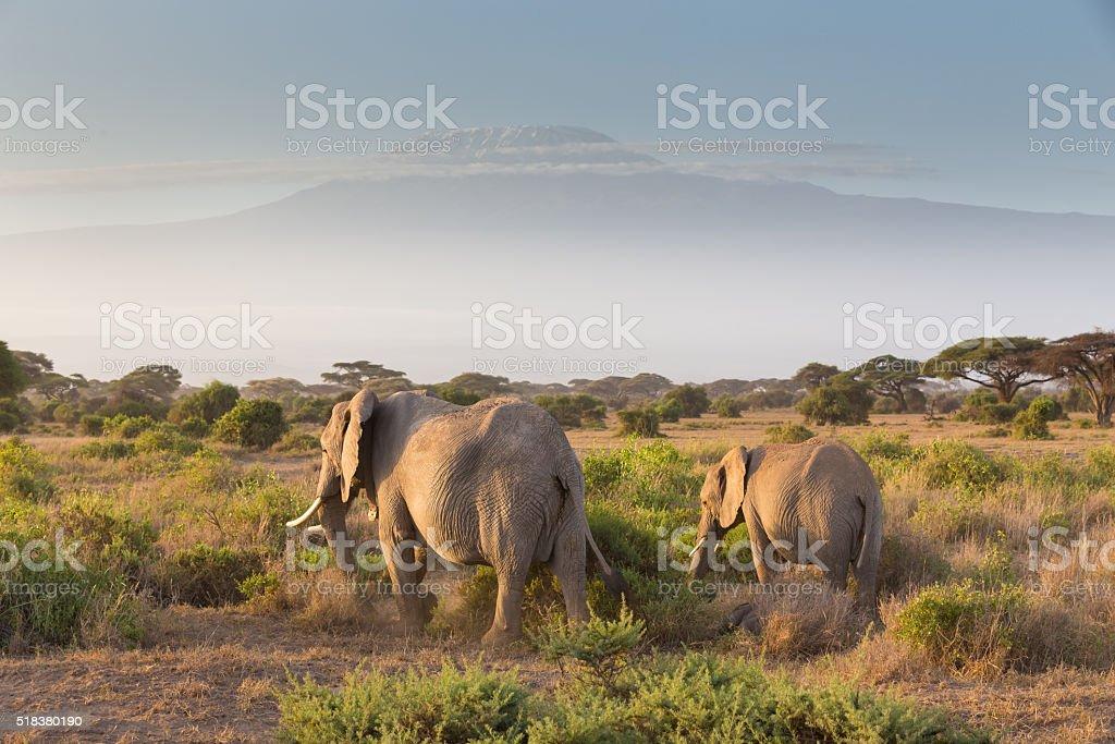 Elephants in front of Kilimanjaro, Amboseli, Kenya stock photo