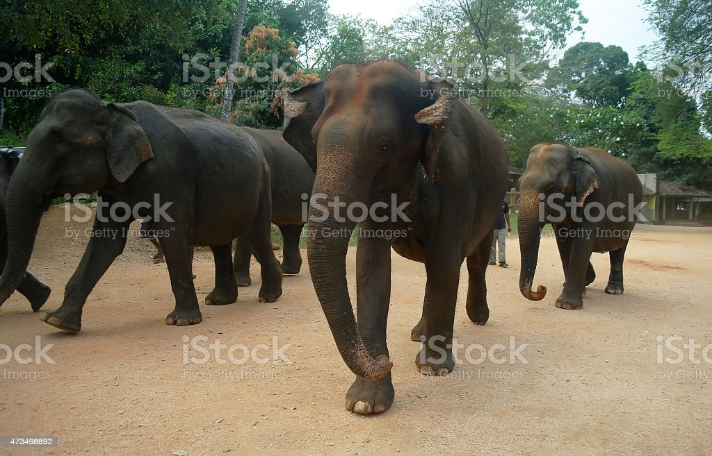 Elephants in Kandy, Sri Lanka stock photo