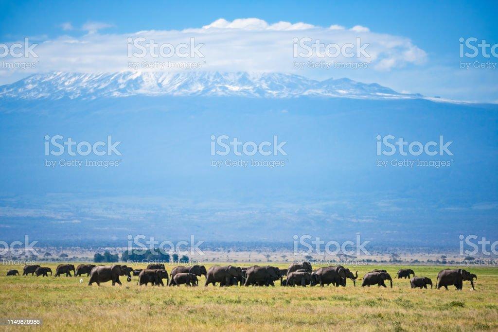 Elephants in Kilimanjaro foothills stock photo