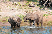 Elephants in Okavangodelta taking a bath