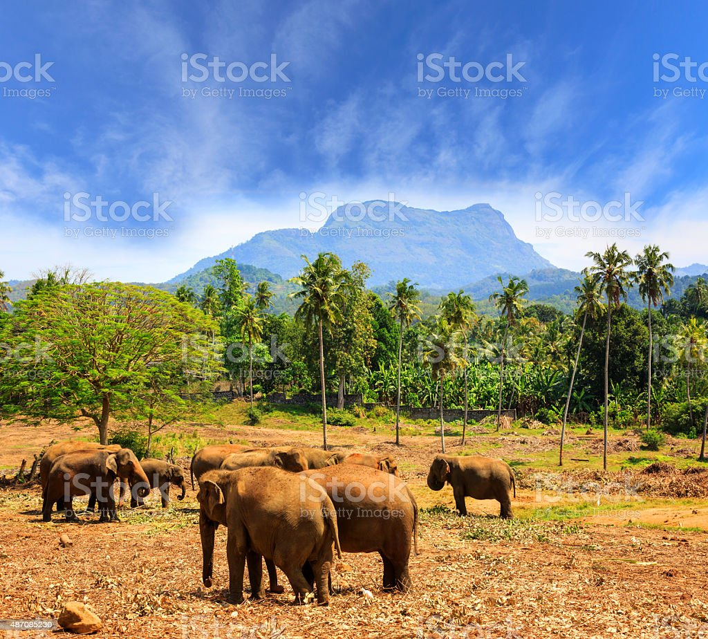 Elephants in park Pinawella on SriLanka stock photo