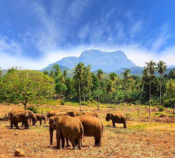 Elephants in park Pinawella on SriLanka Elephants in park Pinawella. SriLanka yala stock pictures, royalty-free photos & images