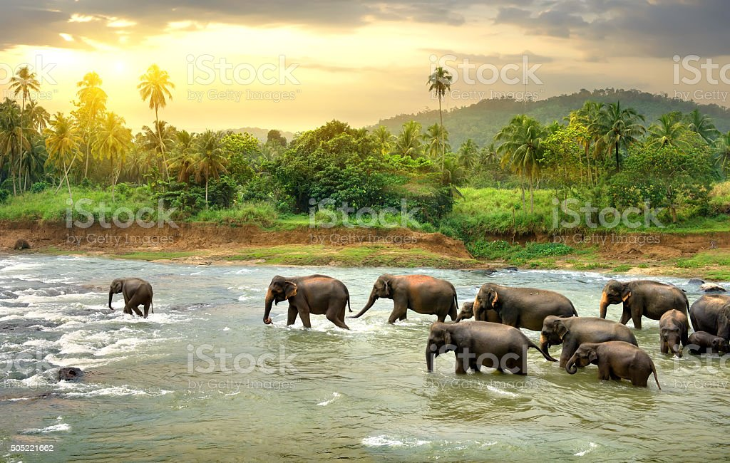 Elephants in river stock photo