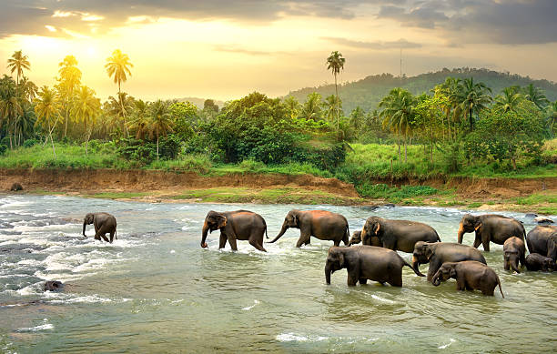 elephants in river - animals in the wild stock pictures, royalty-free photos & images