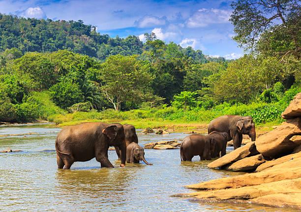 indischer elefant  bilder und stockfotos  istock