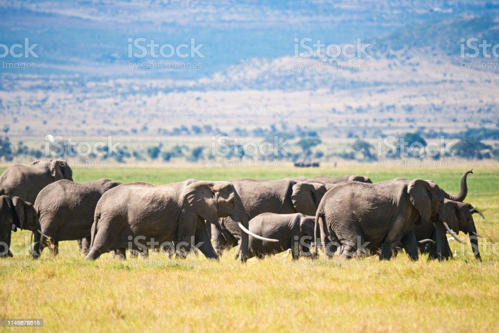 Elephants in savannah stock photo