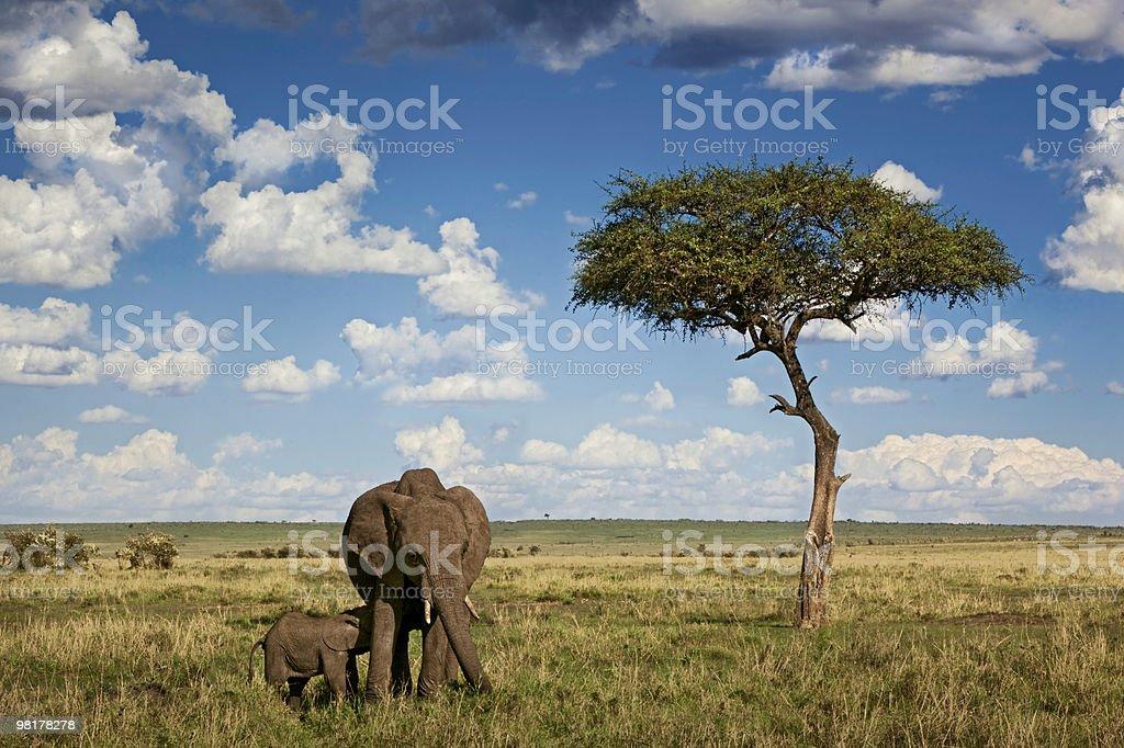 Elephants In Savannah royalty-free stock photo