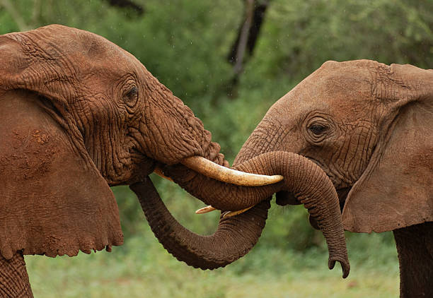 elephants in Tanzania two african elephants in Tanzania, East Africa touch each other with their trunks animal trunk stock pictures, royalty-free photos & images