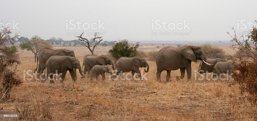 Elephants in Tarangire National Park, Tanzania royalty-free stock photo