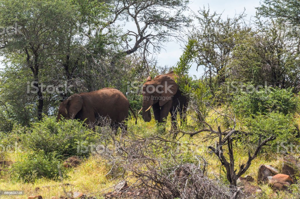 Elephants in the bush of Kruger Park, South Africa stock photo