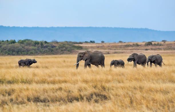 Elephants in the Mara stock photo