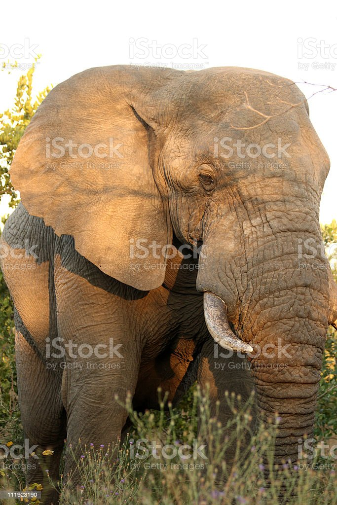 Elephants in the Sabi Sands Private Game Reserve royalty-free stock photo