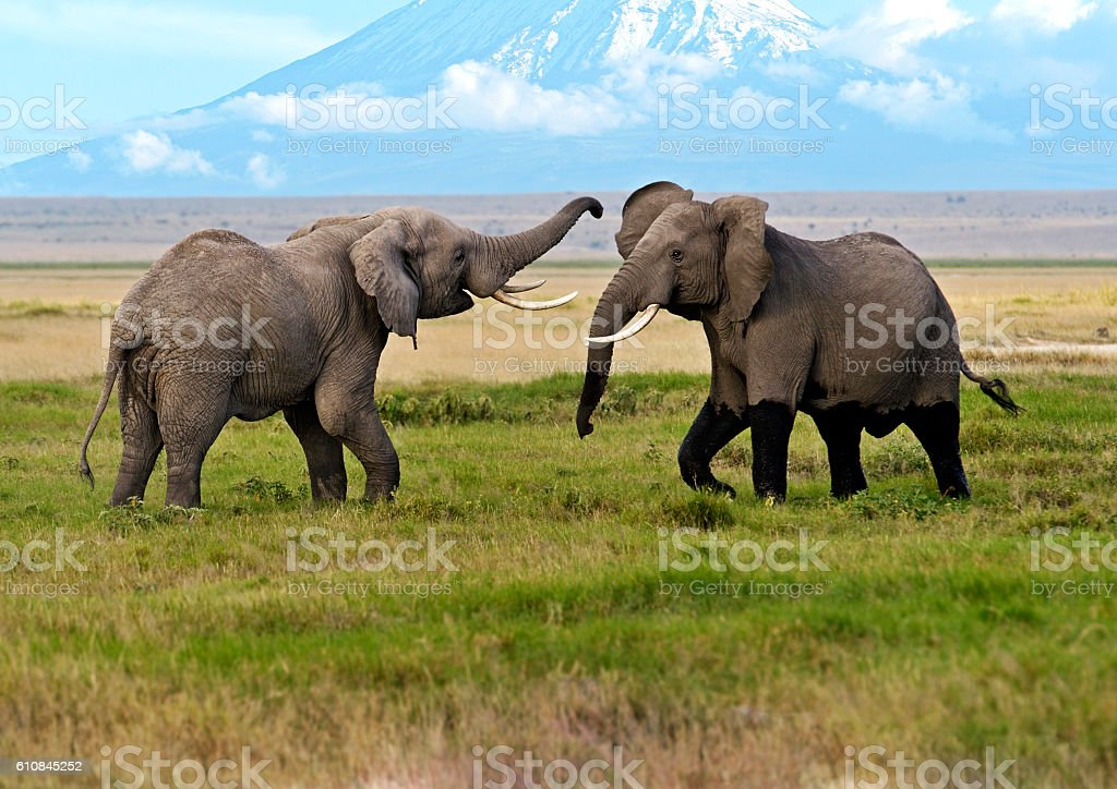 Elephants in the savannah stock photo