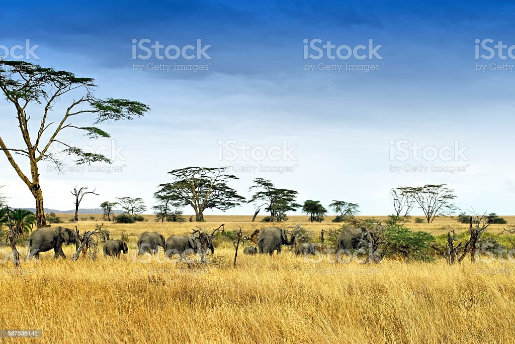 Elephants in the savannah,Serengeti National Park,Tanzania stock photo