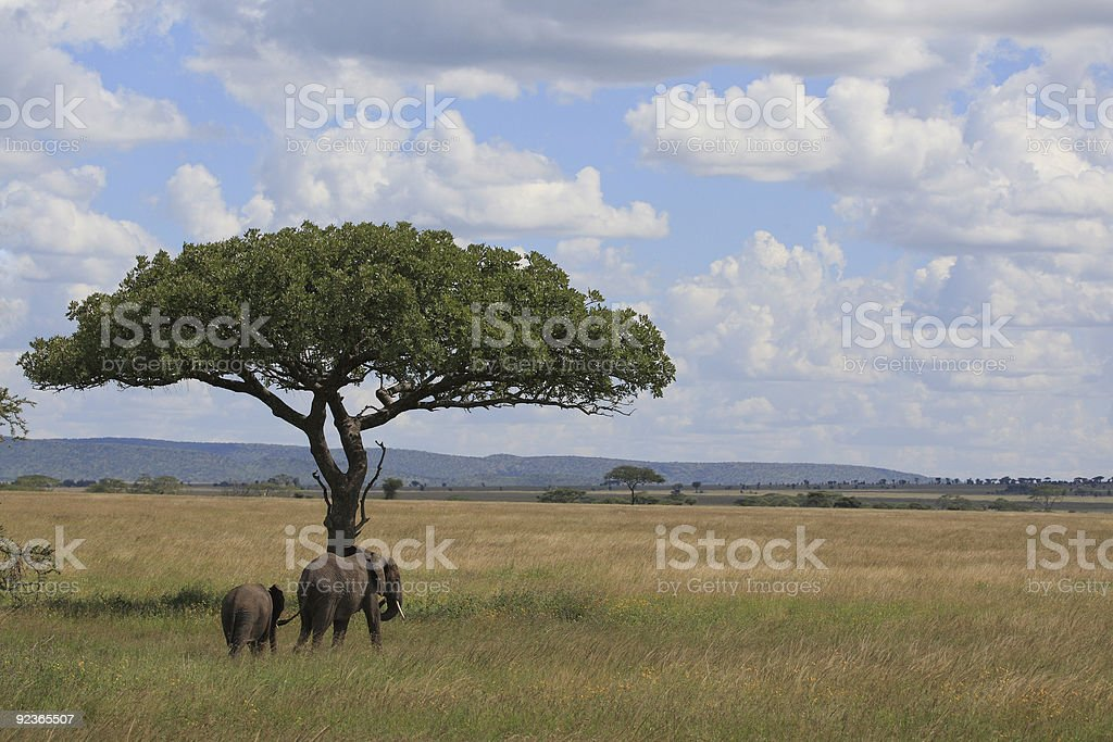 Elephant's in the serengeti royalty-free stock photo