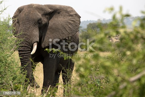 The great elephants of Africa.  Seen here in the open plains of Tanzania.