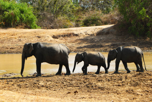 Elephants in Yala national park, wildlife, enviroment protection concept. Elephants in Yala national park, wildlife, enviroment protection concept. yala stock pictures, royalty-free photos & images