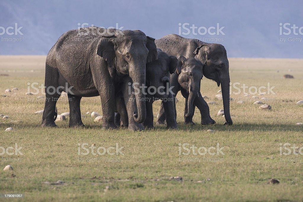 Elephants, India royalty-free stock photo