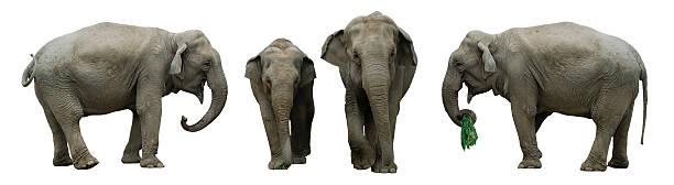 Elephants isolated on a white background stock photo