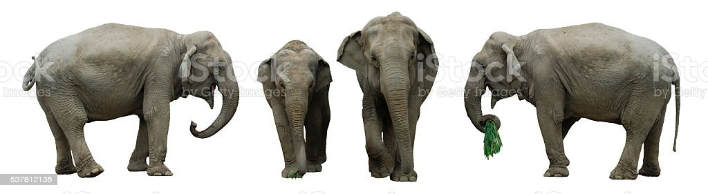 elephants isolated on white stock photo
