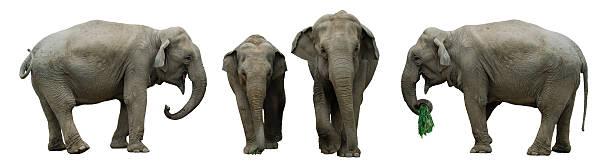 elephants isolated on white stock photo