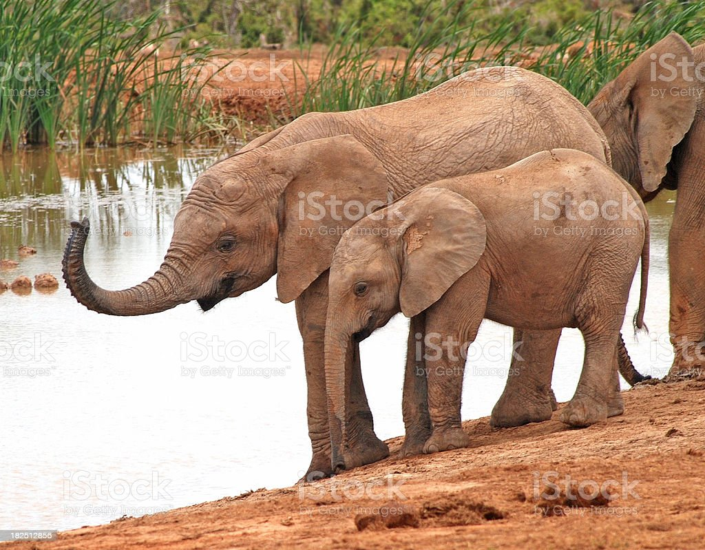 Elephants near water stock photo