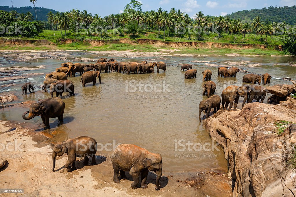 Elephants of Pinnawala elephant orphanage bathing in river stock photo