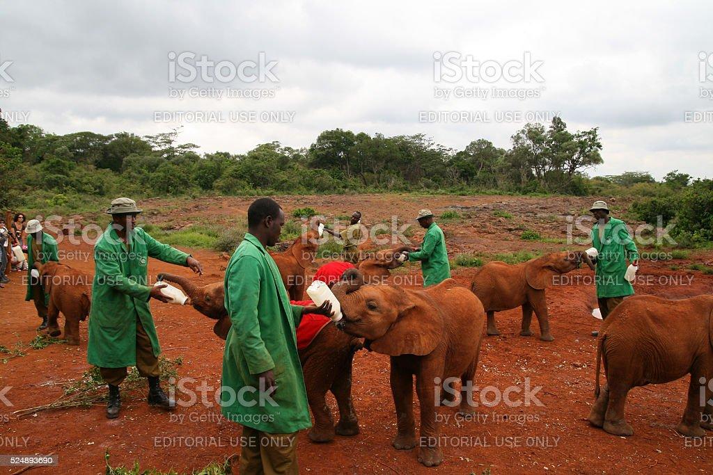 Elephants orphanage in Nairobi, Kenya stock photo