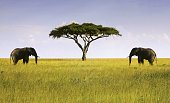 Elephants Pair Facing Single Isolated Acacia Tree in Serengeti National Park, a Unesco World Heritage Site, Tanzania Africa