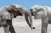 Elephants playing in Etosha NP - Namibia